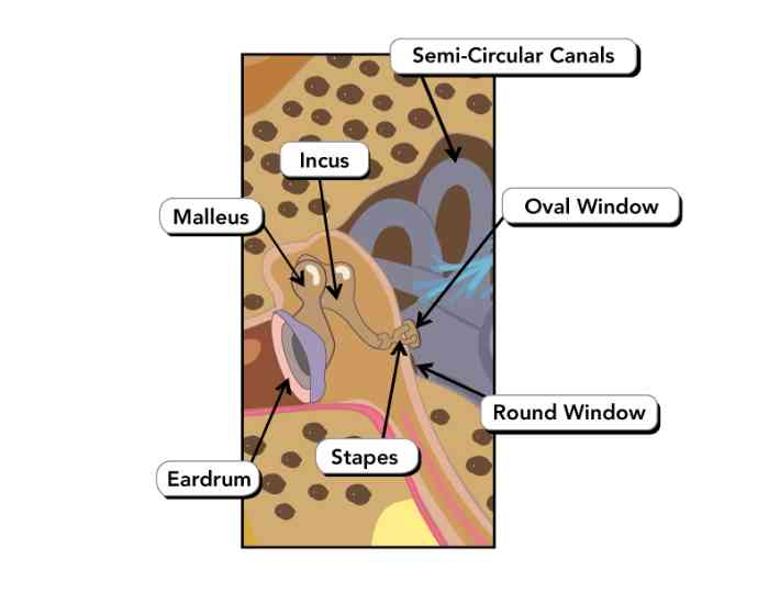 anatomy of the middle ear diagram